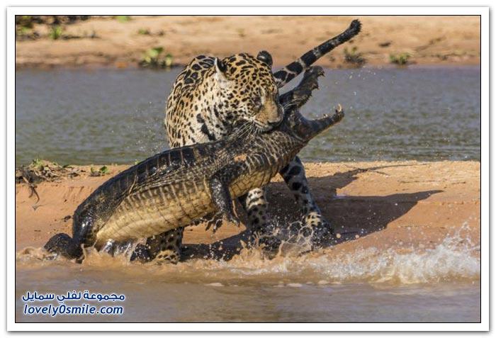 نمر يهاجم تمساح