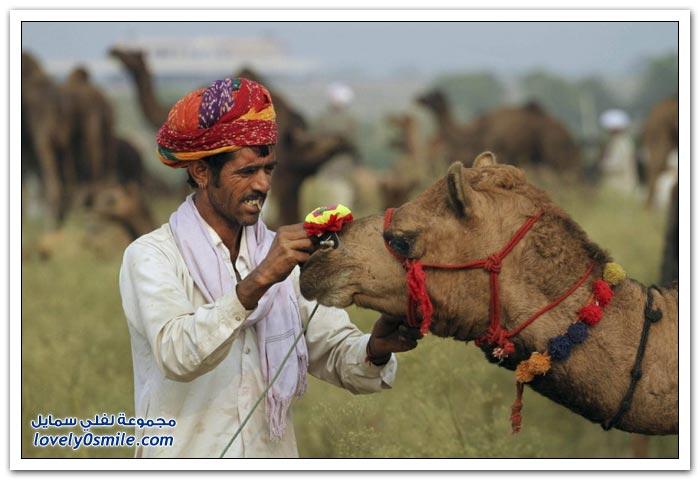 مهرجان بوشكار السنوي في الهند أكبر سوق تجارى ومهرجان للماشية والجمال في العالم