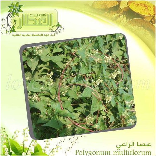 عصا الراعي - Polygonum multifl
