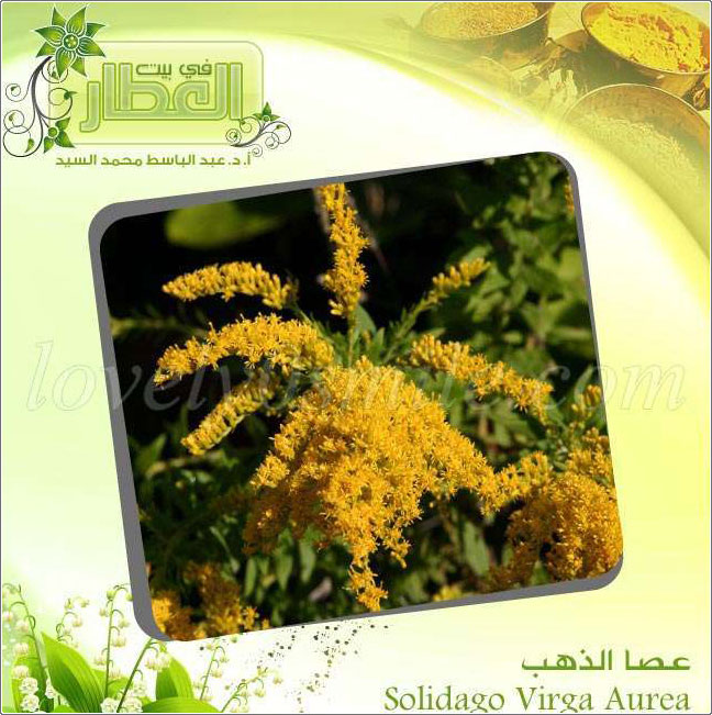 عصا الذهب - Solidago Virga Aur